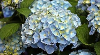 blue yellow hydrangea flowers