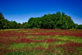 red wildflowers in Alabama