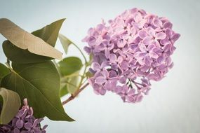Lilac Syringa Bush Purple