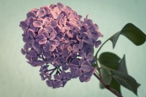 Lilac Syringa Bush Purple macro photo