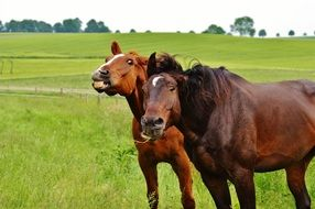 two brown horses in one coupling