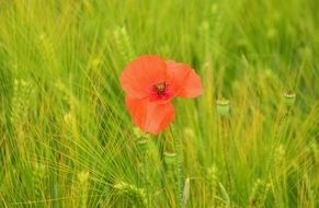 red poppy among a bright green field
