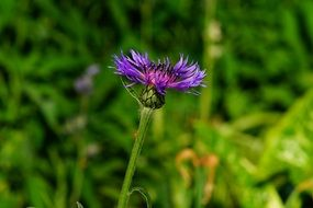 purple flower in a green meadow close-up