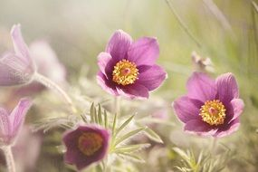 tender common pasque flower