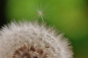 dandelion is a wildflower