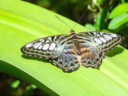 tropical striped butterfly on a green leaf
