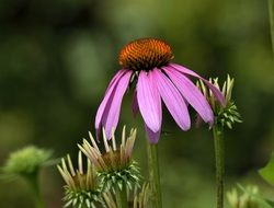 purple coneflower close-up