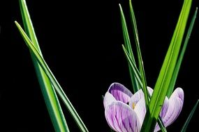 purple crocus and green leaves on a black background