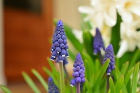 blue hyacinth close-up