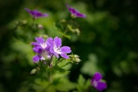 Purple Geranium Flowers, green background