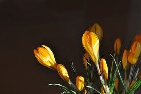 yellow crocuses in buds on a black background