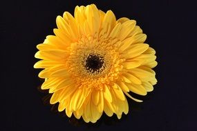 flower yellow daisy black aback