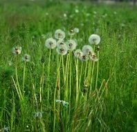 Dandelions on a meadow