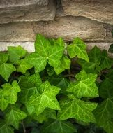 Ivy Vine leaves