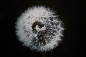 dandelion flower plant black aback view