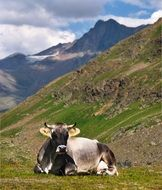 cow is resting near the mountains on a sunny day