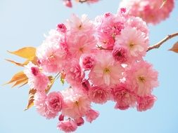 pink flowers on a cherry branch