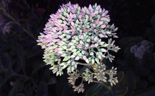 incredible beauty Sedum Flower