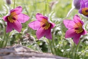 common pasque flowers