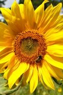 insect on a sunflower on a sunny day