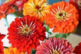 Tin Zinnia Red Flowers