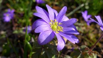 Violet blossoming anemone flowers