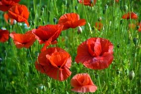 red poppies on a green meadow close up
