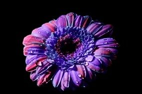 blue purple gerbera flower