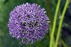 purple spherical flower of a decorative bow
