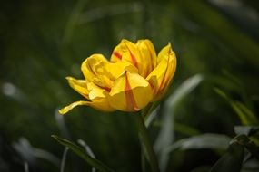 Tulip Flower Yellow Red Blossom