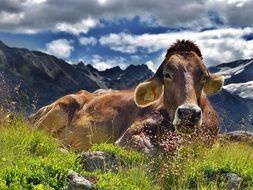 farm cow in the Alps