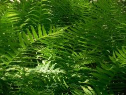 incomparable Fern Plant