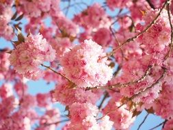 fluffy pink cherry blossoms