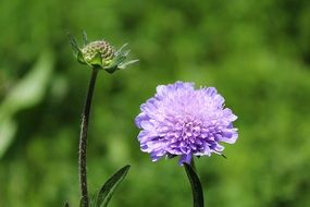 Scabious Pincushion Flower