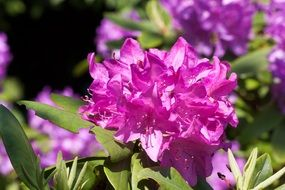 purple rhododendron inflorescence