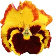 yellow pansy flower on a white background