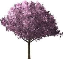 isolated blooming cherry tree