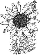 black and white drawing of a sunflower