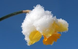 yellow narcissus blossom under snow