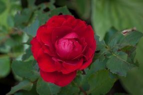 scarlet garden rose in spring