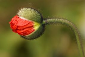bud of red poppy close up