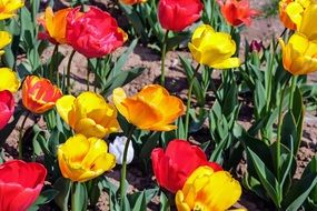 red and yellow tulips in the garden bed