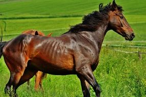thoroughbred brown horse