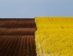 brown arable field and yellow rape field