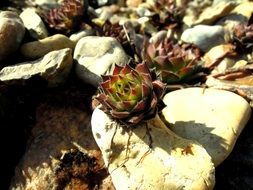 succulent plants on white stones
