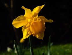yellow narcissus blossom