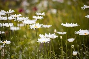 white daisies on a green field in summer