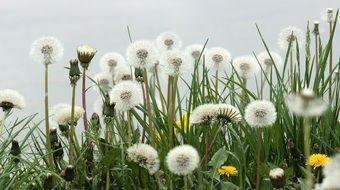A lot of white dandelions in a garden