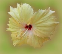 pale yellow hibiscus flower