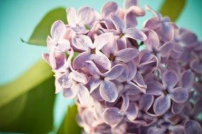 Lilac Syringa Bush Purple macro recording